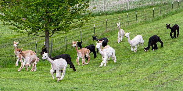 Alpacas of the Heartland