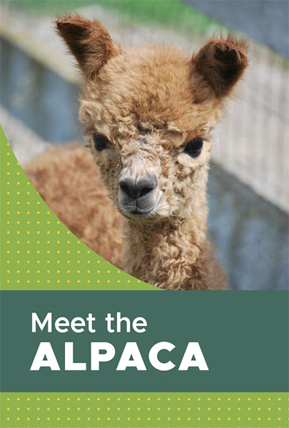 Meet the Alpaca